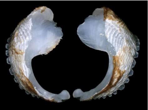 Loài nhuyễn thể chỉ dài bằng ngón tay cái nhưng có khả năng thay đổi cả dòng chảy của sông