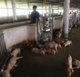 Tái đàn có kiểm soát, bảo đảm đủ nguồn cung thịt heo an toàn