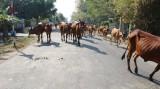 Cần chấn chỉnh tình trạng bò thả rông