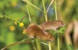 Sâm thử và chuột sâm: Món ăn quý tộc và dân dã