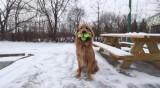 Chú chó có biệt tài ngậm một lúc 6 quả bóng tennis trong miệng
