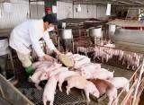 Phó Thủ tướng: Tăng mạnh đàn lợn nhưng không để mất cân đối cung cầu