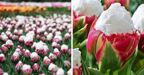 Tuyệt đẹp và độc đáo bông hoa tulip giống hệt ly kem mát lạnh
