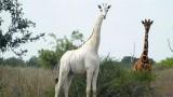 Phát hiện một con hươu cao cổ lông trắng quý hiếm ở Kenya