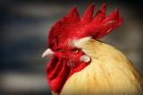Kỳ lạ người phụ nữ Bỉ nghĩ mình là một con gà trống