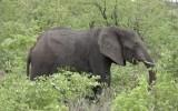 Bị đàn voi rừng tấn công, cảnh sát Zimbabwe thoát hiểm nhờ giả chết