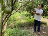 North Tan Uyen develops organic citrus production