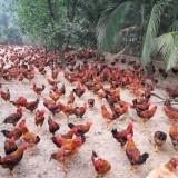 Hiệu quả mô hình tổ hợp tác chăn nuôi