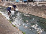 Thu gom cá chết trên kênh Bưng Cải, không để gây ô nhiễm môi trường
