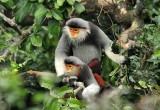 将一只白臀叶猴放归大自然