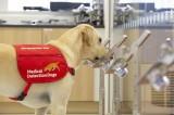 Kinh ngạc chó nghiệp vụ có thể phát hiện chính xác người mắc COVID-19