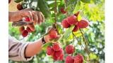 越南百香果和荔枝在欧盟广受欢迎
